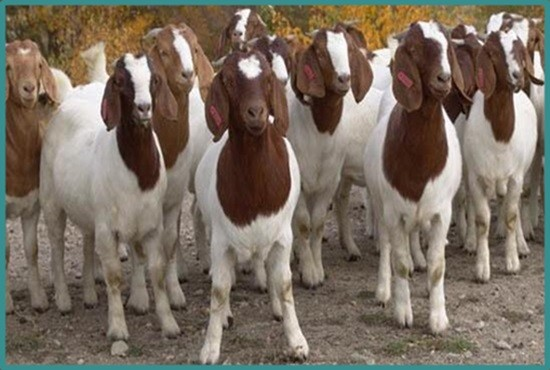 Boer Breed Goat for seed use