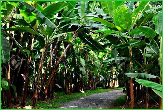 Banana Farming, Khairahani Municupality